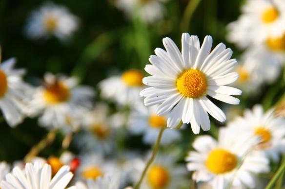 daisies-276112_1920_1280